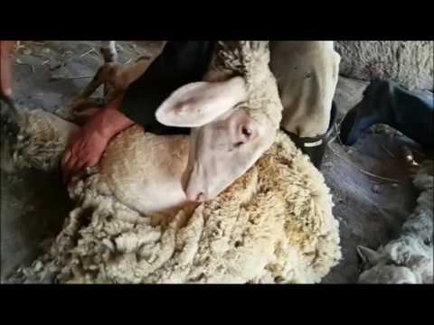 Šišanje ovaca protiv njihove volje