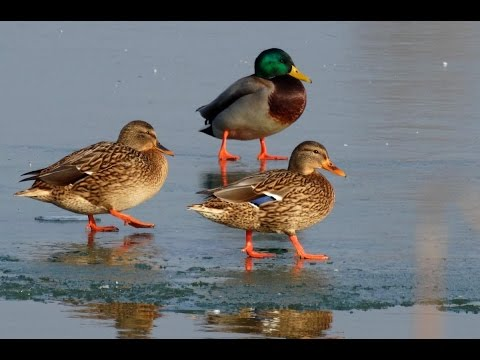 Oto Sekereš o brojnom stanju ptica na zaštićenom području