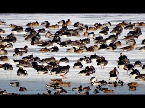 Jato od preko tri hiljade ptica na jezeru Palić